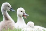 swans, animal