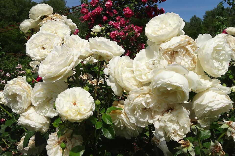 Roses White Flower White Rose White Roses Nature