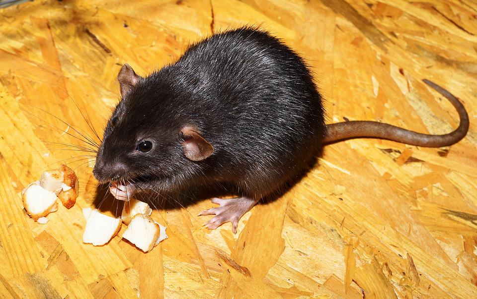 photo of a rodent eating
