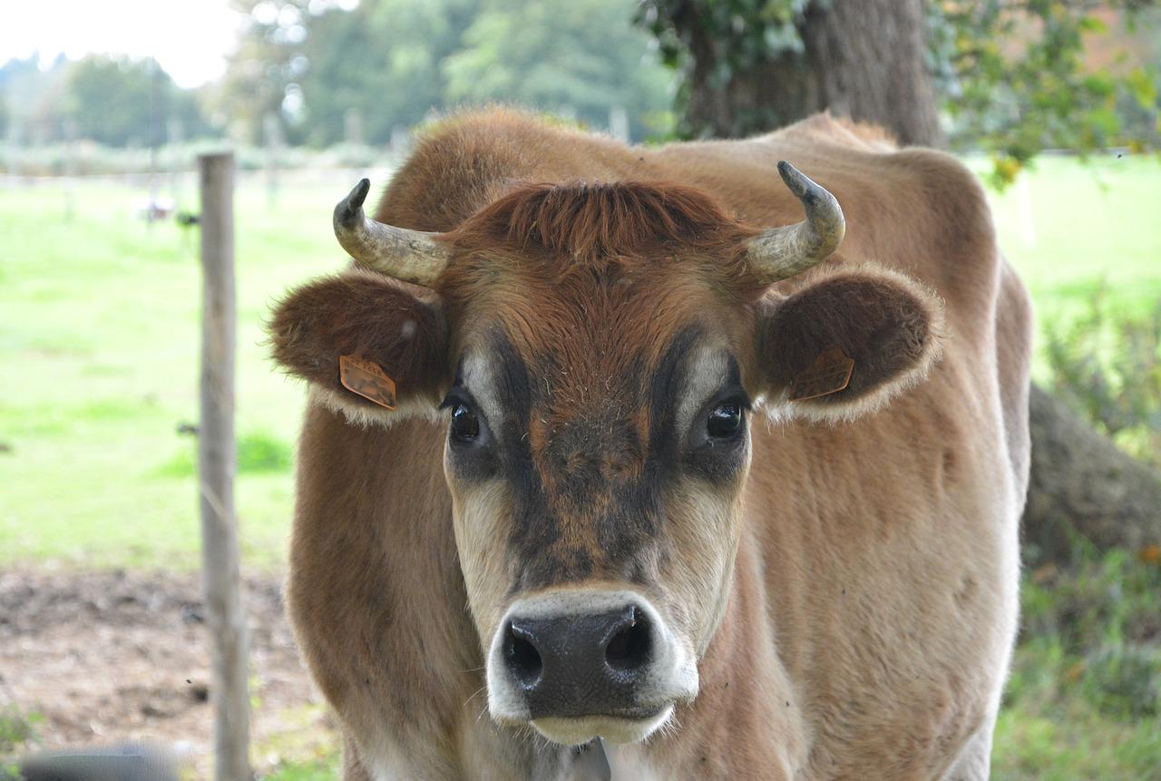 Фото головы коровы