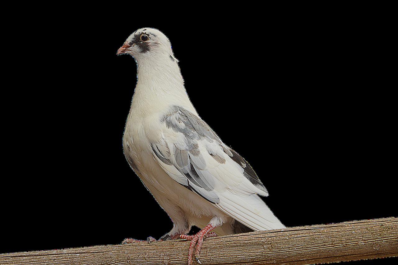 Png Paloma Merpati Putih Dove Di   Foto gratis di Pixabay