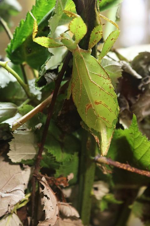 コノハムシ科 葉のバグ カブトム...