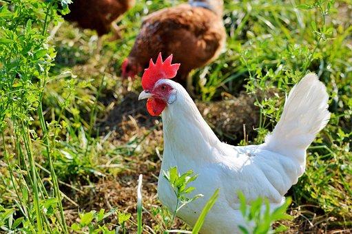 Chicken, Hen, Poultry, Free Range