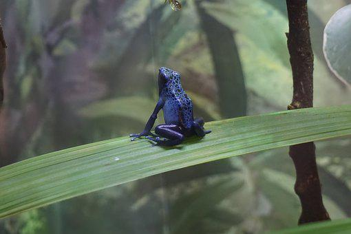 Rana, Anfibios, Azul