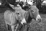 donkeys, portrait