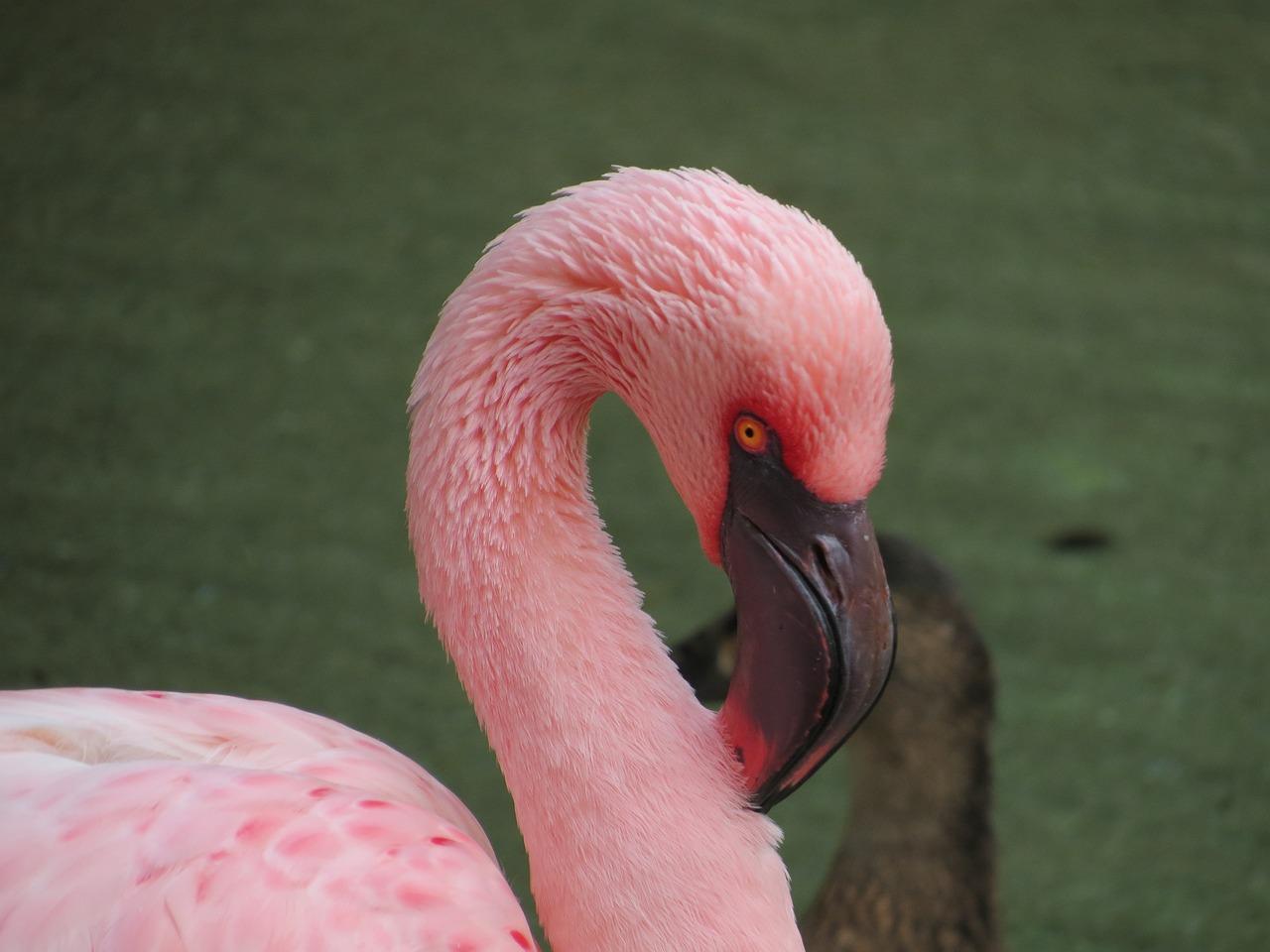 курске птица фламинго картинки практика