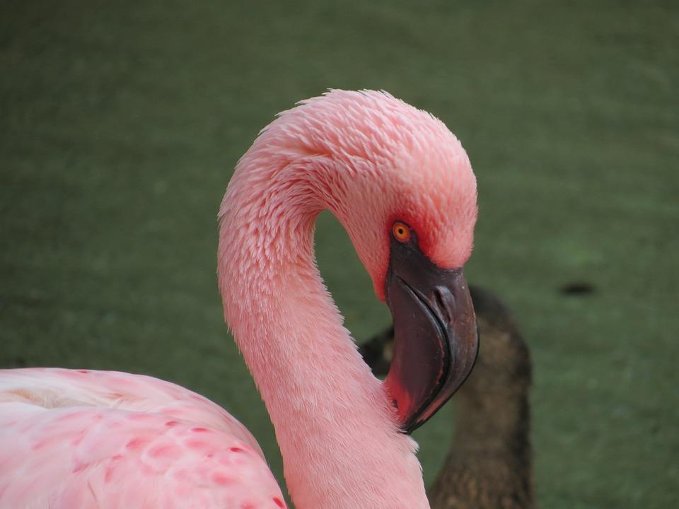 pássaro flamingo rosa foto gratuita no pixabay