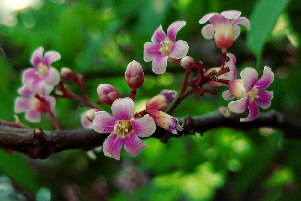 Little flowers starfruit flower free photo on pixabay little flowers starfruit flower nature flora garden mightylinksfo