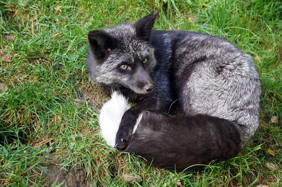 sort ræv