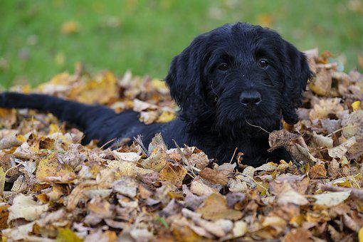 Labradoodle Puppies for sale in New Mexico