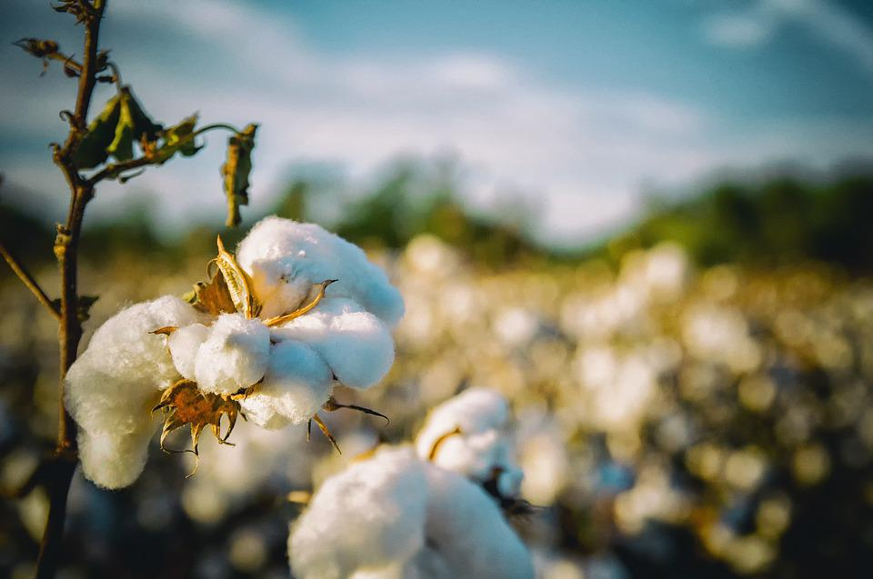 Cotton, South, Alabama, Agriculture, Country, White