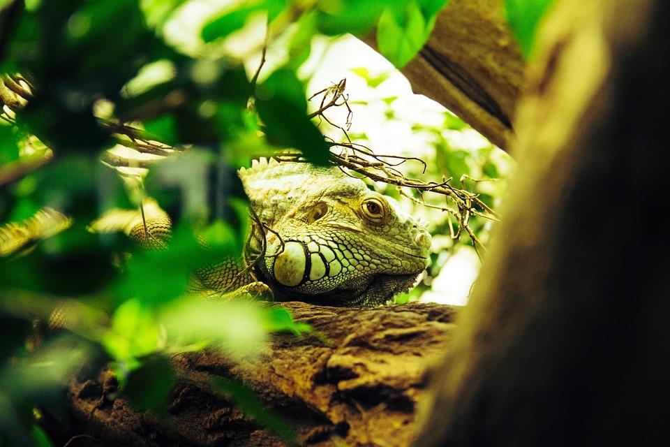鬣蜥, 爬行动物, 蜥蜴, 龙, 规模, 绿色, 动物园, 监视器