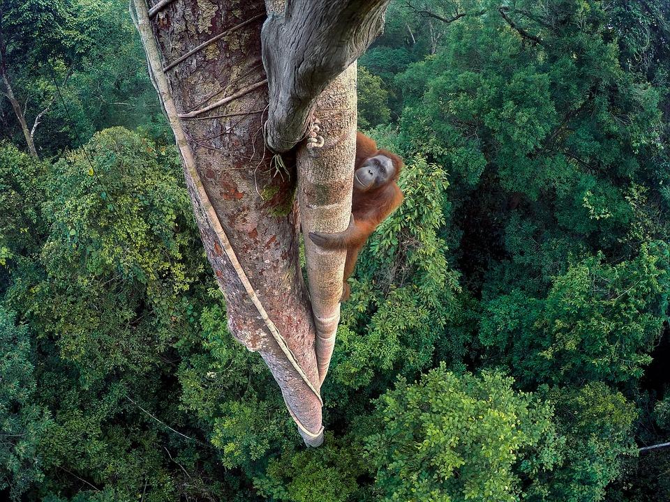 Красивые фото - Страница 2 Orang-hutan-2807834_960_720