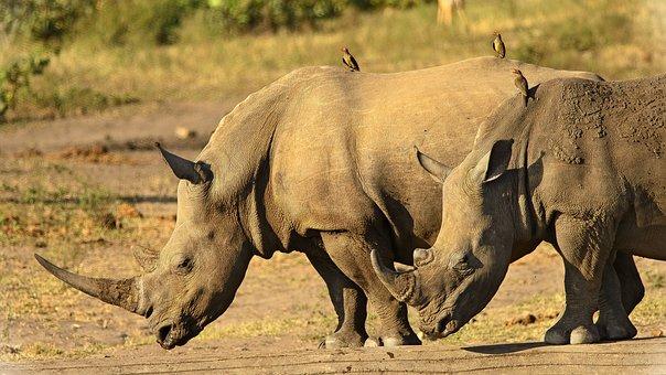 サイ, 閉じる, 角, 危険, 絶滅の危機に瀕, 環境保全, 野生動物
