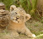 lion cub, adorable, cute