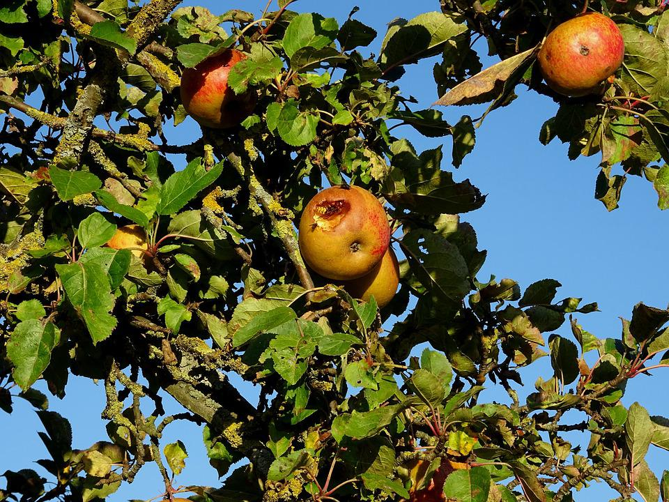 Apple Tree, Apple, Wasp, Insect, Fruit, Nature, Autumn