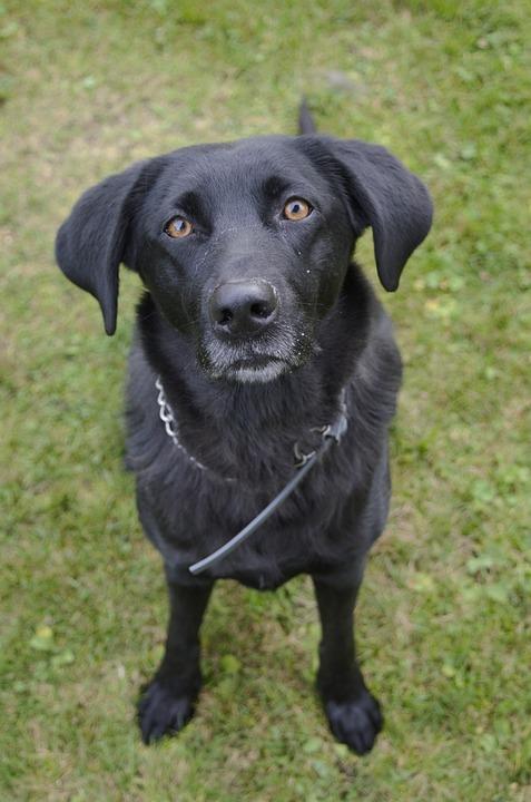 Good Labrador Black Adorable Dog - black-dog-2809509_960_720  Pictures_817632  .jpg
