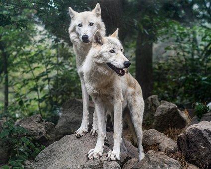 Wolf, Predator, Two, Wild Animal, Wolf