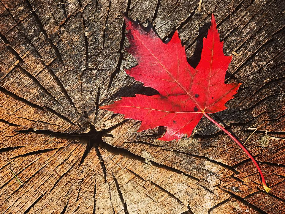 Fall, Leaf Maple, Canada, Maple Leaves, Nature, Maple