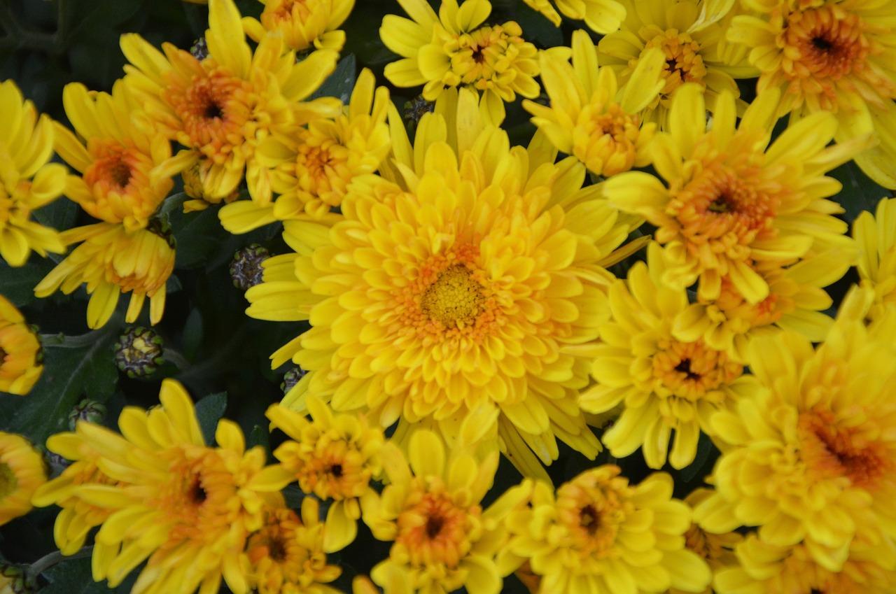 Yellow Chrysanthemum Flower Meaning Animalcarecollegefo