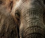 elephant, close, trunk