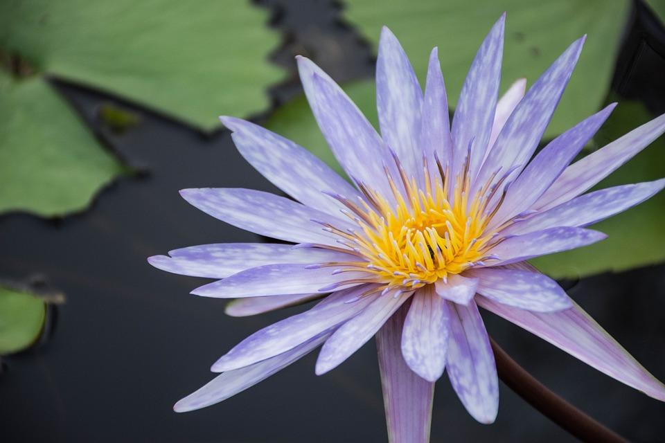 Fleurs Lotus Pourpre Photo Gratuite Sur Pixabay