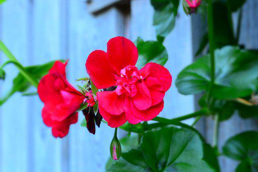 Red Flower, Plant, Nature, Garden, Red