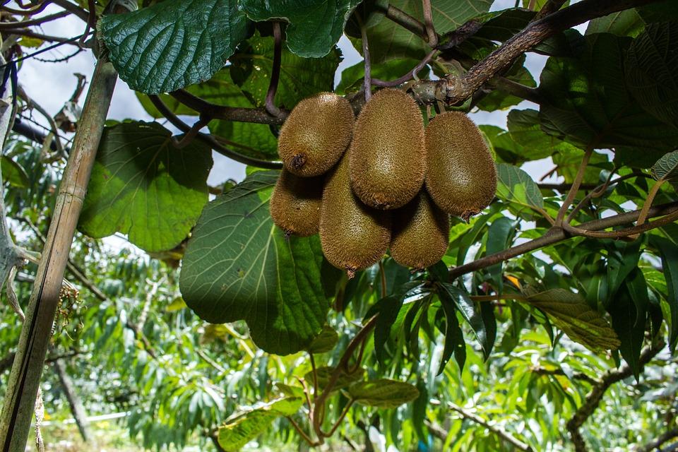 Top Kiwi Baum - Kostenloses Foto auf Pixabay &EB_77