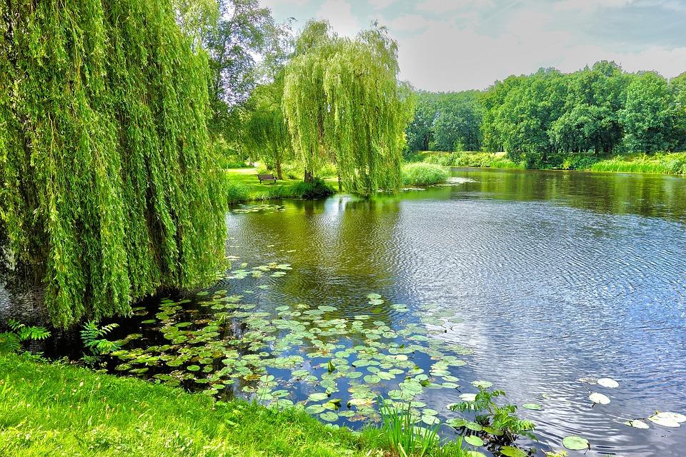 池, 柳, 垂柳, 水百合, 公园, 风景, 景区, 户外, 绿色, 夏天, 纳尔登