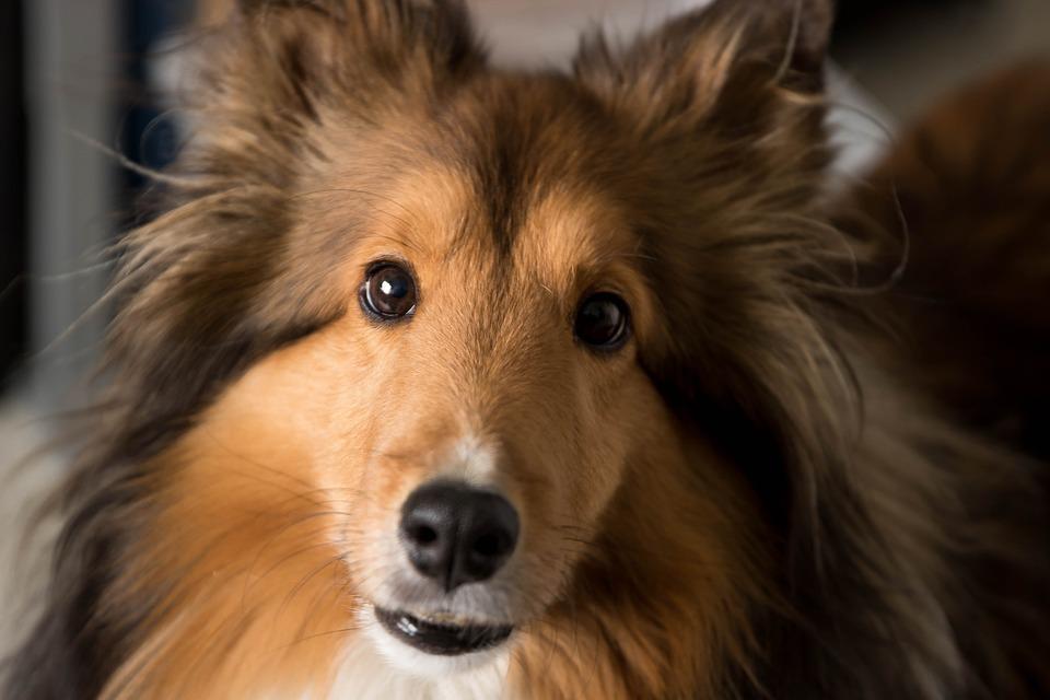 Simple Icelandic Sheepdog Canine Adorable Dog - dog-2814754_960_720  Graphic_216745  .jpg