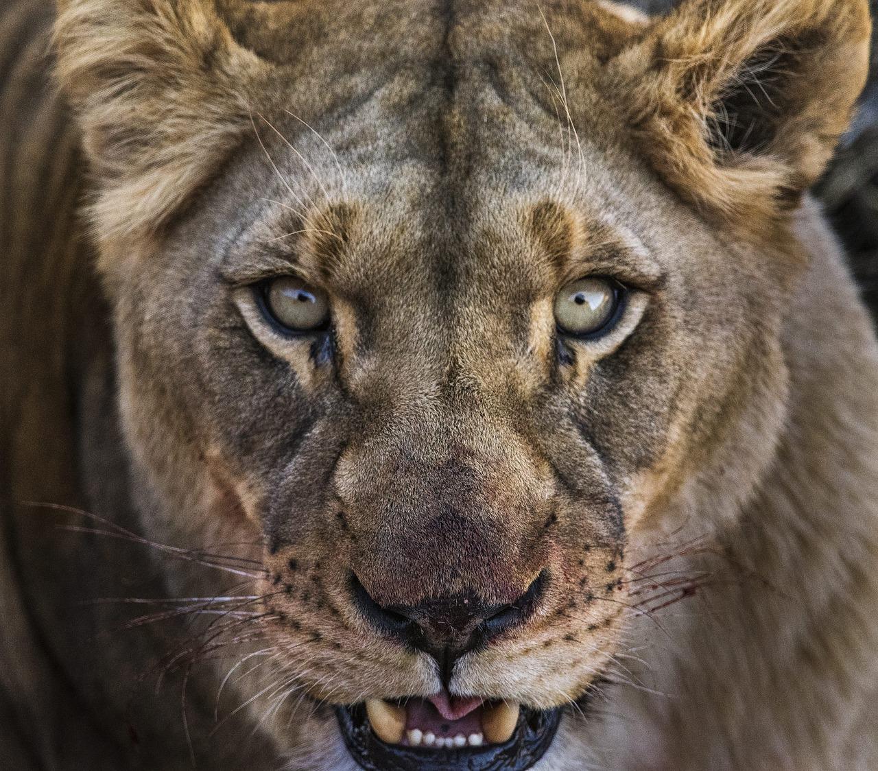 Картинки львица рычит, дорогой