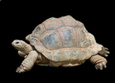 Schildkröte, Landschildkröte, Reptil