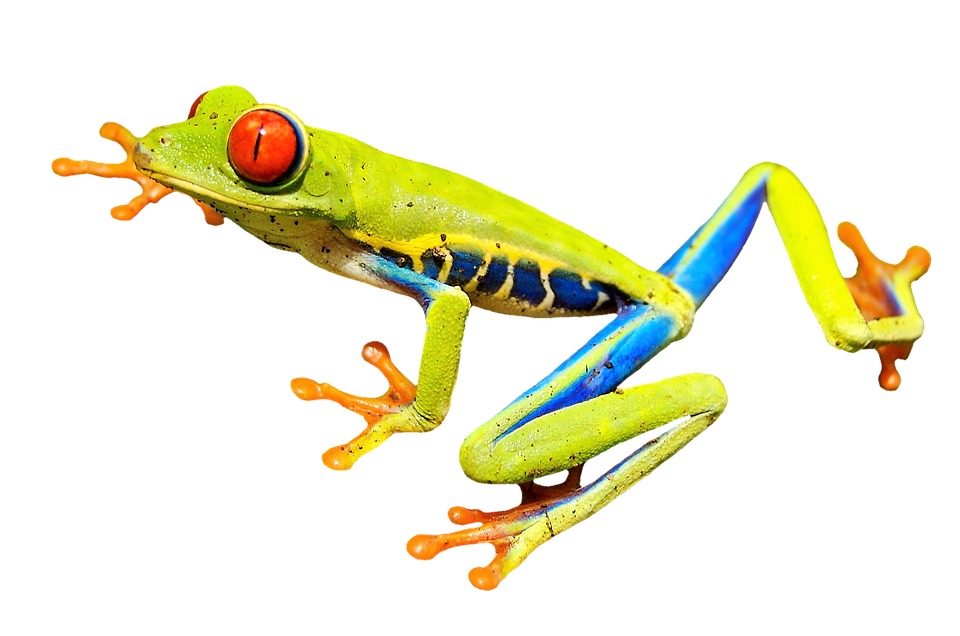 Rainforest Frog Clipart