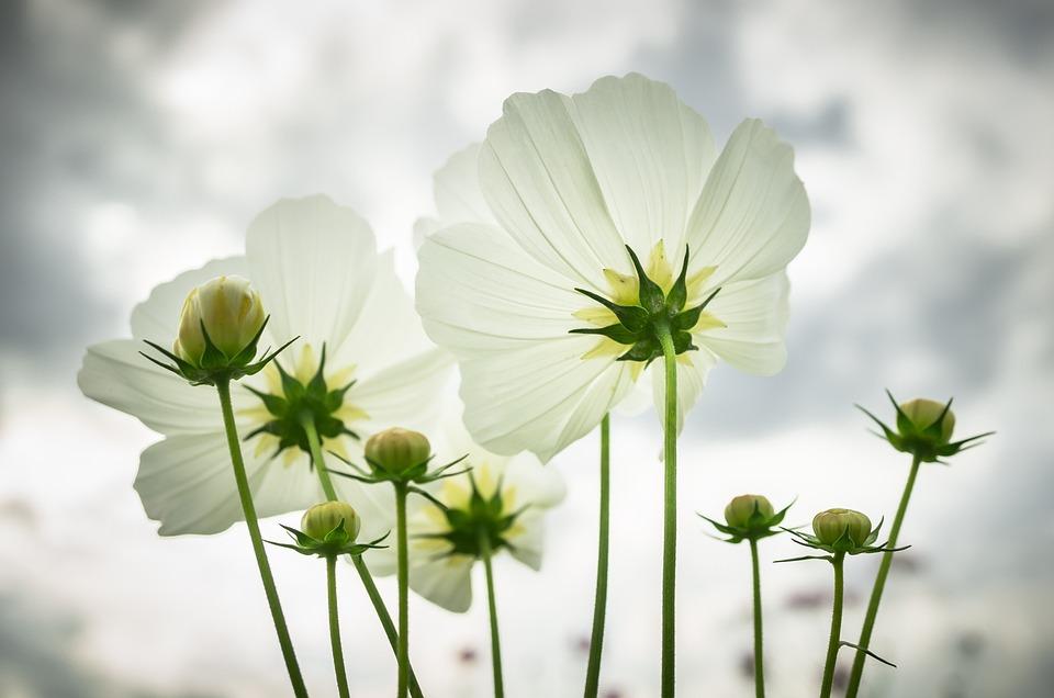 Kosmos Herbst Blumen Kostenloses Foto Auf Pixabay
