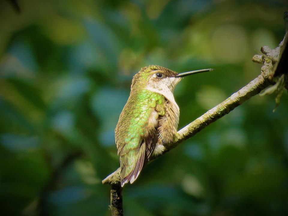 Oiseau, Colibri, La Faune