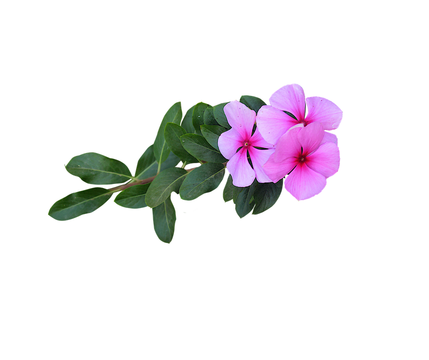 Image png pink flowers free photo on pixabay image png pink flowers flowers bloom flowering mightylinksfo
