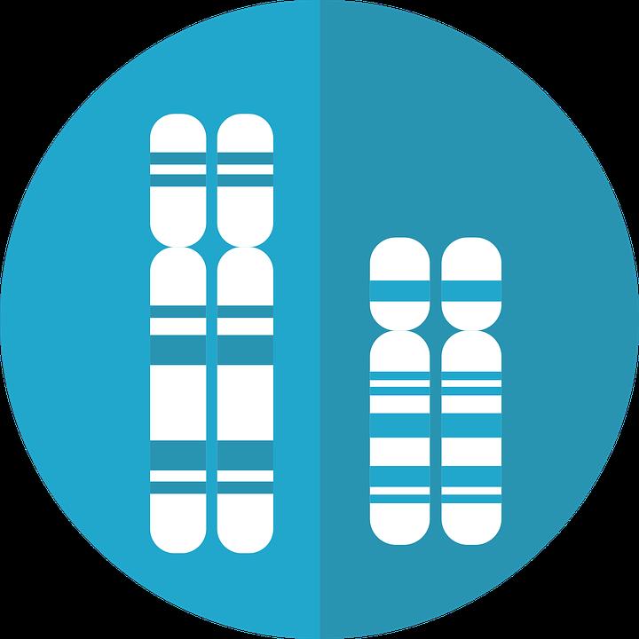 Chromosomes, sister chromatids