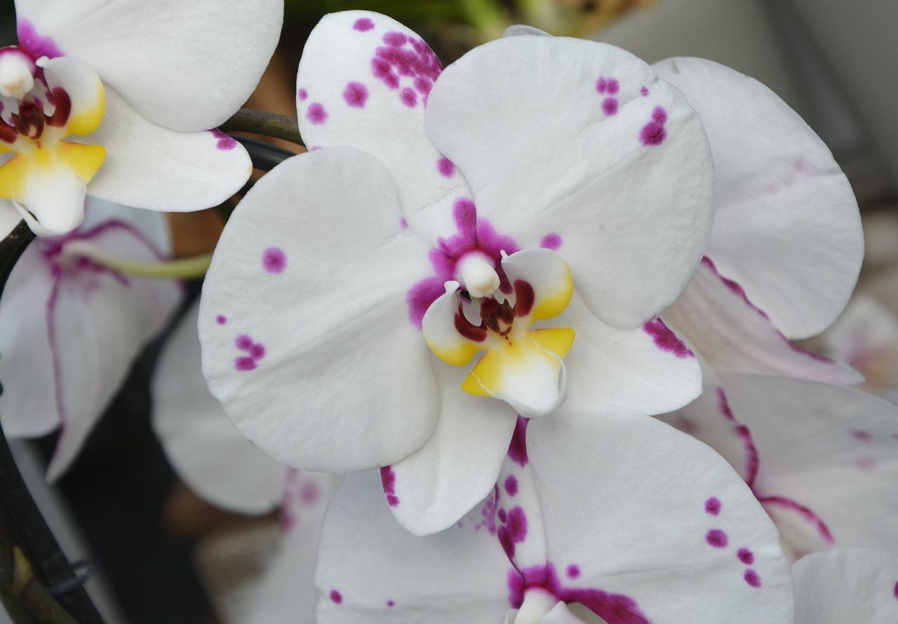 Картинки цветы орхидеи черные пятна