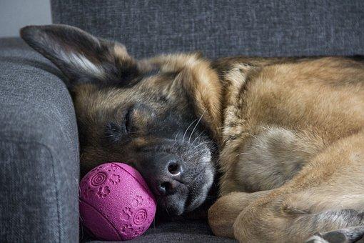 German Shepherd, Sleep, ball