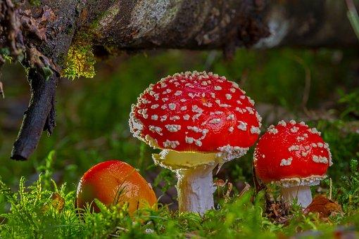 Fly Agaric, Mushroom