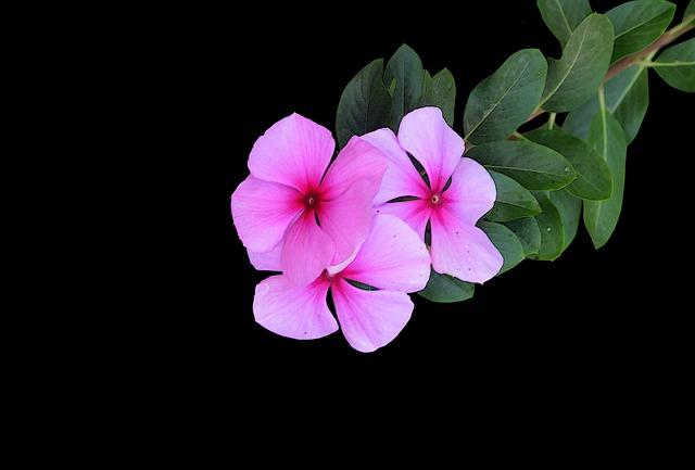 Pink Flowers Black Bac...