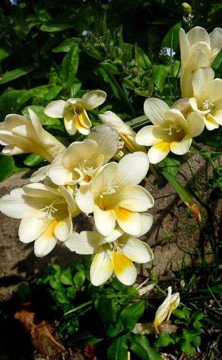 Flowers, Scented, Garden, Blooming