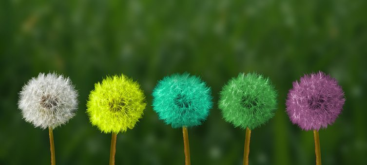 assorted-color dandelions