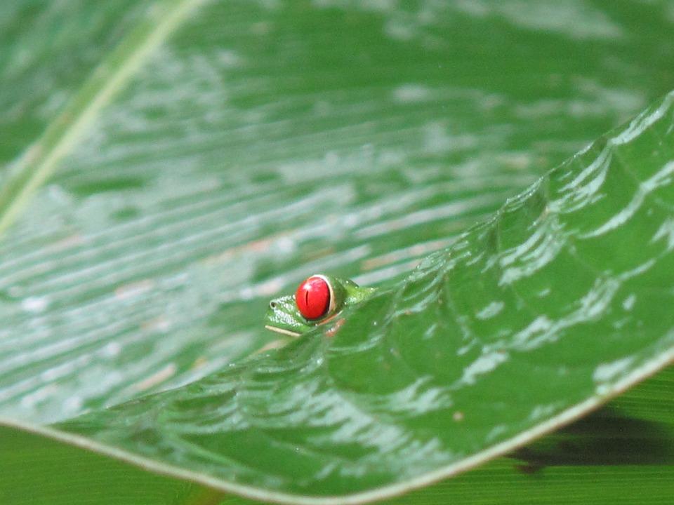 Grenouille Costa Rica costa rica grenouille · photo gratuite sur pixabay
