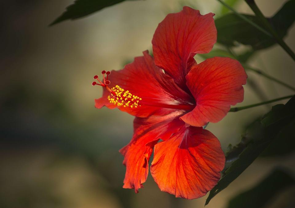 Hibisco, Rojo, Cerrar, Macro, Flor