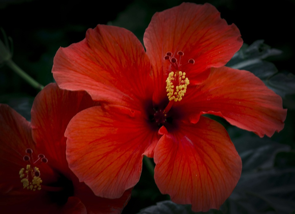Hibiscus Flower Close Free Photo On Pixabay