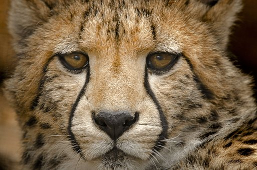 Cheetah Cub, Close, Spots Eyes, Acinonyx