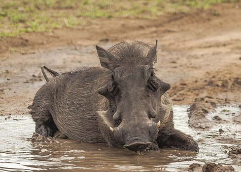 Warthog, Mud, Bathing, Close, Cute