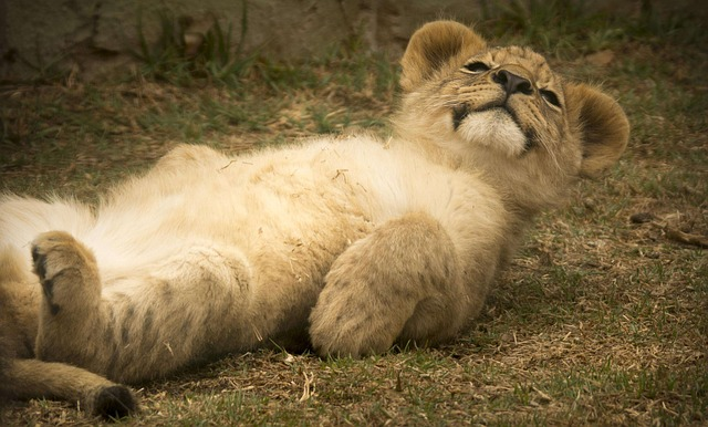 Free Photo Lion Cub Cute Smile Comical Free Image On