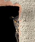owl, hiding, peeking